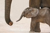 foto of elephant ear  - Cute very young baby African elephant reaching out with it - JPG