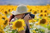 stock photo of sunflower  - Attractive female photographs blossoms of sunflowers in a sunflower field.