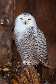 stock photo of hedwig  - White owl sitting on stump in zoo - JPG