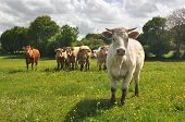 stock photo of charolais  - Curious Charolais cow with other cows in the background - JPG