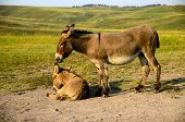stock photo of burro  - A mother burro standing next to her baby lying down - JPG