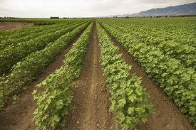 stock photo of pima  - Pima cotton is growing in neat rows in a field in southern Arizona - JPG