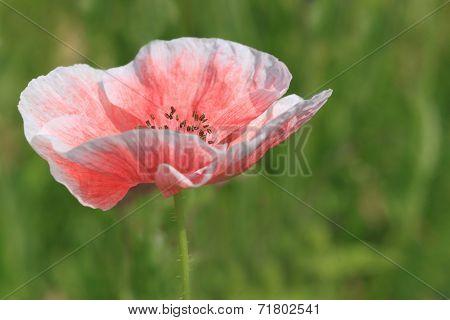 Pink Poppy Over Green Grass