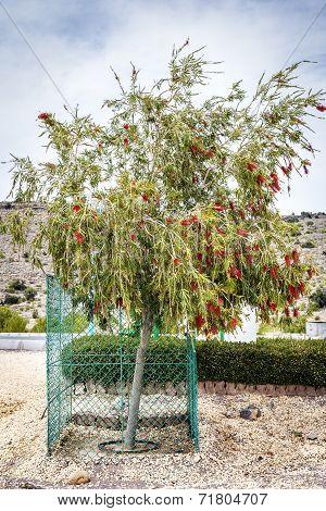 Bottlebrush Saiq Plateau