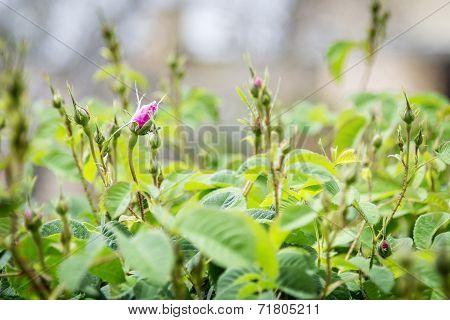 Roses On Saiq Plateau