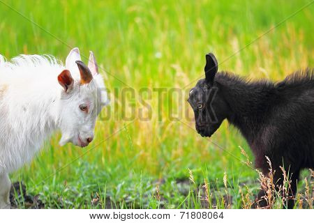 Adult and young goats fighting with their heads