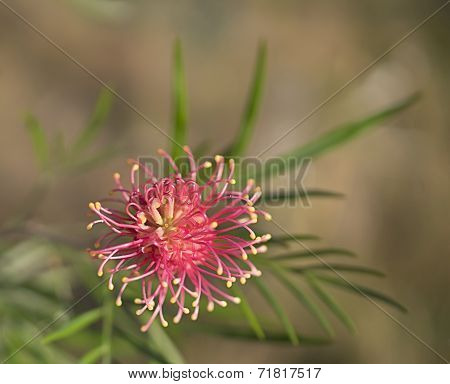 Grevillea Species An Australian Wildflower