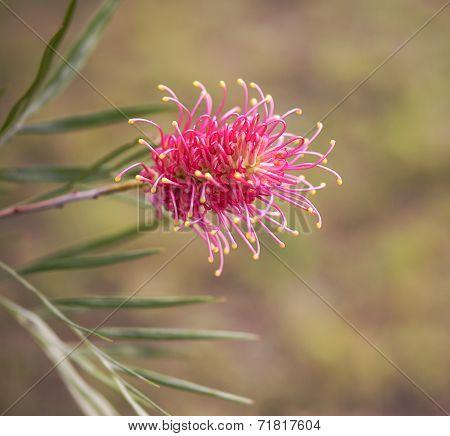 An Australian Wildflower Grevillea