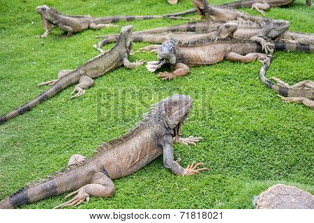 Iguanas enjoying the summer weather at a park