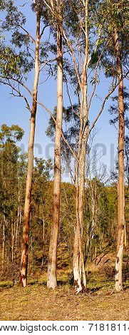 Australian Panoramic Landscape Tall Gum Trees