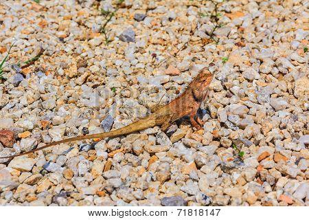 Closeup Yellow Crested Lizard