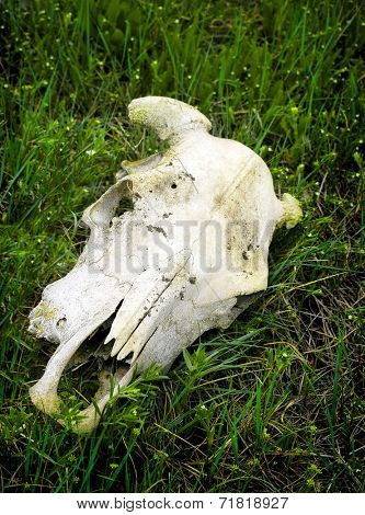 Skull of animal with horns on green prarie grass