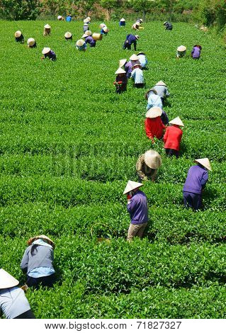 Crowd Vietnamese Farmer Tea Picker  On Plantation