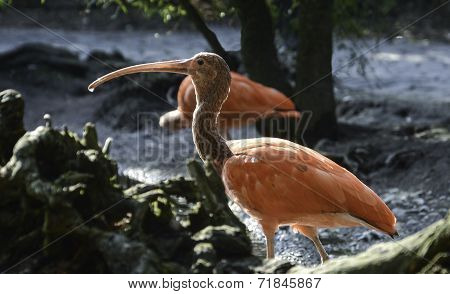 Scarlet Ibis with a drop of water