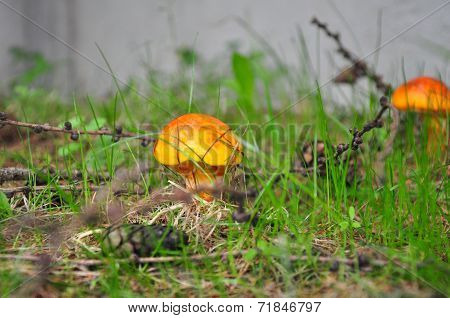 Small Mushroom In The Forrest
