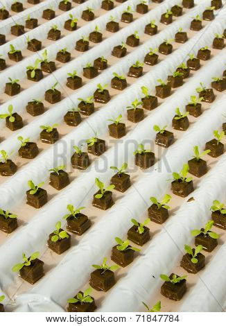 Simple Hydroponic System Growing Lettuce