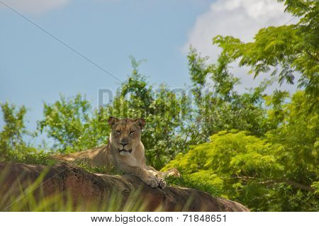 Lioness in Nature