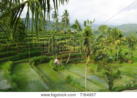 Bali  Young Watered Ricefields