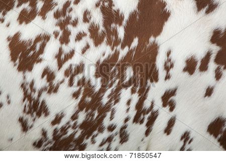 Part Of Hide Of Red And White Cow