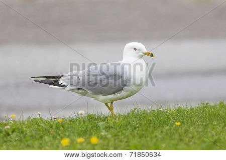 seagull standing in green grass, Newfoundland