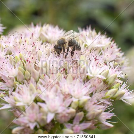 Bee On Flower Of Sedum