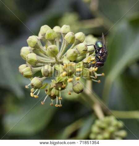 Green Fly Sitting On Flower Of Hedera
