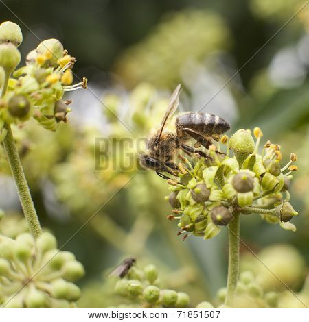 Bee On Flower Of Hedera