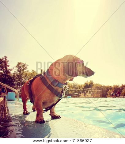 a cute dog at a local public pool toned with a retro vintage instagram filter effect and back lit by the summer sun creating a soft focus