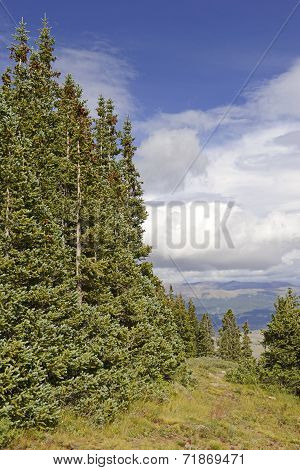 Spruce Trees and clouds in the mountains