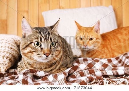 Two cats on blanket and pillow on wooden wall background