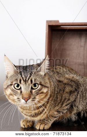 Grey cat in wooden box isolated on white