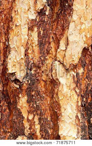 Rind of Wood