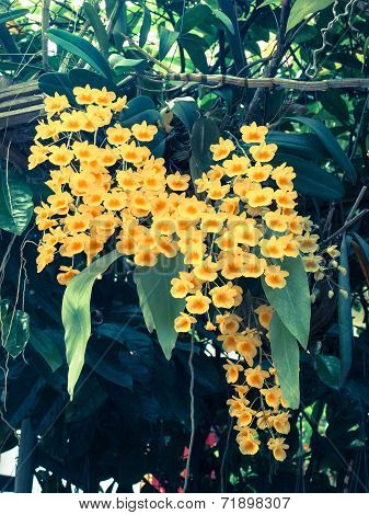 Colorful Orchid Species Yellow Dendrobium Lindleyi Flower: Filtered Image:cross Processed Vintage Ef