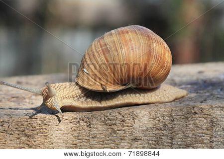 Snail In Profile.