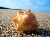image of conch  - A lone conch shell on beach - JPG
