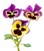 picture of viola  - Viola flowers isolated on a white background - JPG