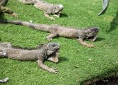 picture of guayaquil  - Iguanas enjoying the summer weather at a park in Guayaquil - JPG