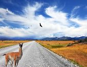 image of pampa  - Above the dirt road on the pampa Andean condor soars - JPG