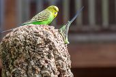 pic of parakeet  - Budgerigar couple common pet parakeet in a nest - JPG