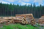 Woodpile In Scottish Forest