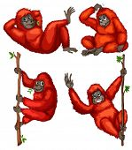 picture of orangutan  - Illustraion of a set of orangutan - JPG