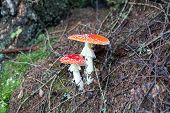 foto of toadstools  - two spotted toadstools in the wood mushrooms - JPG