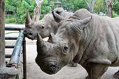 foto of rhino  - The Beautiful Rhino in Thailand zoo,  Rhino taking a snap - JPG