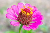 image of zinnias  - Pink zinnia blossom at center closeup - JPG