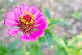 pic of zinnias  - Pink zinnia blossom at top left closeup - JPG