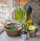 pic of primrose  - Spring primroses hyacinths and primroses near the basket and a shovel on the window - JPG