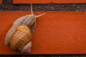 image of mollusca  - Land snail climbing up the brick wall  - JPG