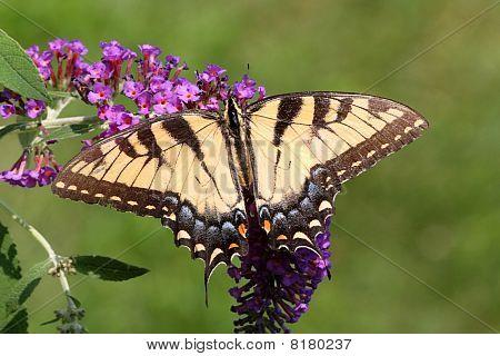 Female Tiger Swallowtail (papilio Glaucas)