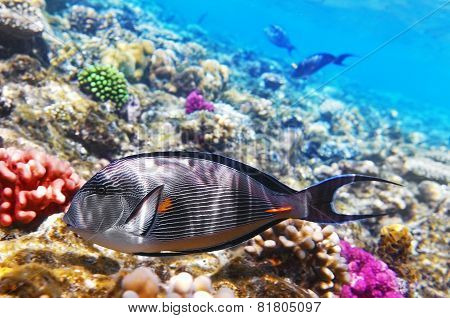 Coral And Fish In The Red Sea.fish-surgeon.egypt