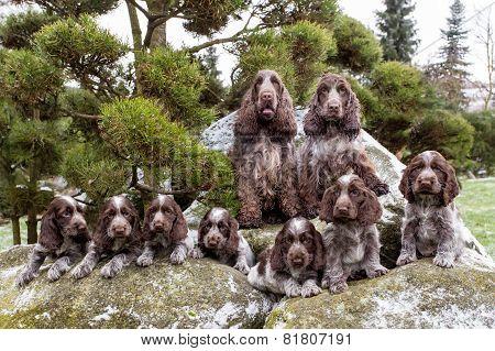 Portrait Of Champions Of English Cocker Spaniel Family